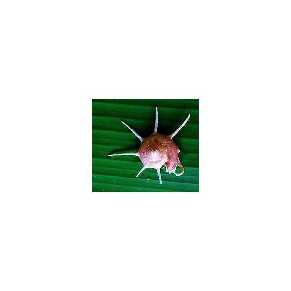 Guildfordia Yoka Grezza - circa 8cm