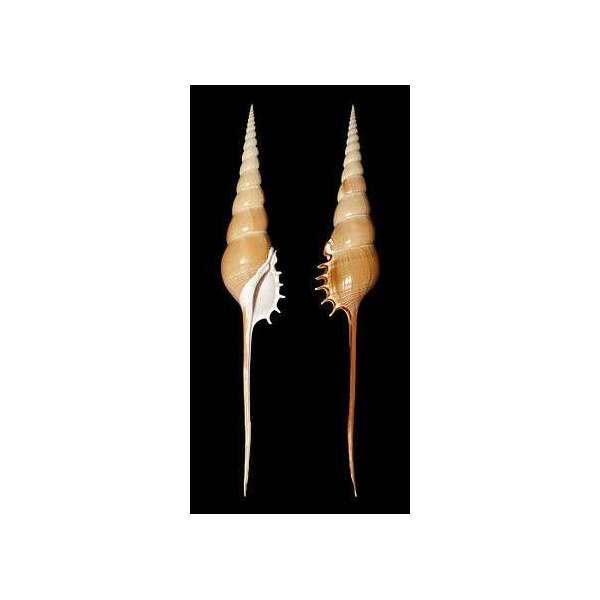 Tibia Fusus Grezza - circa 22 cm